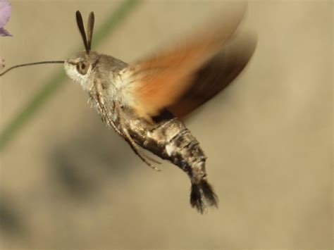 hummingbird moth hummingbird moth latest member projects landscape juice network