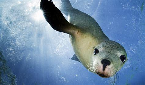 Send A Sea Lion Some Love  Australian Geographic
