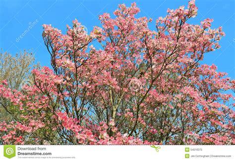 japanischer hartriegel baum rosa hartriegel baum in voller bl 252 te stockbild bild