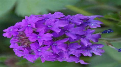 perennials that bloom all summer perennial flowers that bloom all summer mehmetcetinsozler com wallpaper mechanic