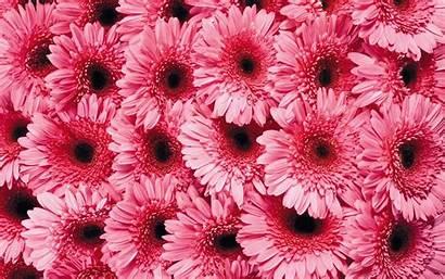 Daisy Wallpapers Pink Pixelstalk