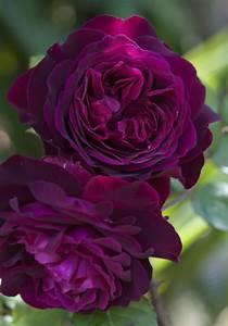 rosa 39 munstead wood 39 in the roses database garden org