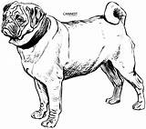 Coloring Dog Breed Pug Drawing Line Draw Pets sketch template