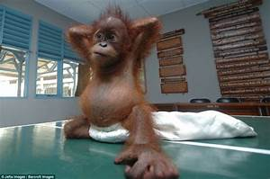 Baby orangutan nursed back to health after being rescued ...