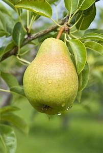 Fertilizer For Pear Trees - Learn How And When To