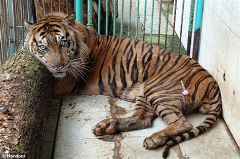 tiger dies  surabaya death zoo daily mail
