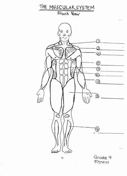 Diagram Muscle Coloring Blank Worksheet Muscular System