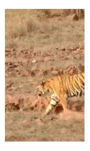 Male Tiger With Dear !! Lakkda Area !! Ranthambhore ...