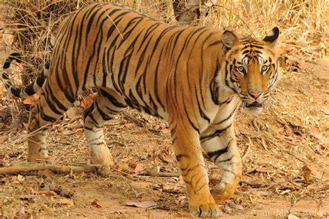 Tigre Du Bengale  Dictionnaire Des Animaux Diconimoz