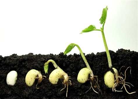 how to grow a seedling germinating seeds and caring for seedlings