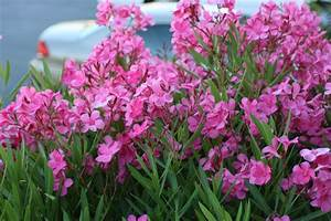 Oleander  Poisonous And Kind Of A Dick