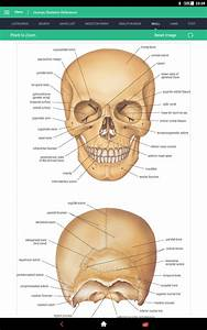 Human Skeleton Reference Guide