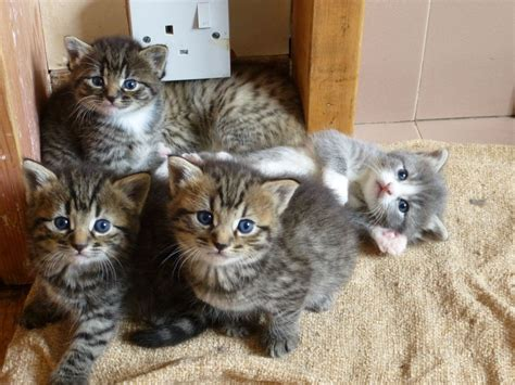 cat mix beautiful tabby bengal mixed kittens fairford