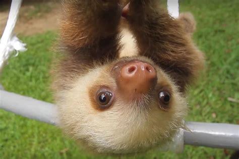baby sloth  mom   crush