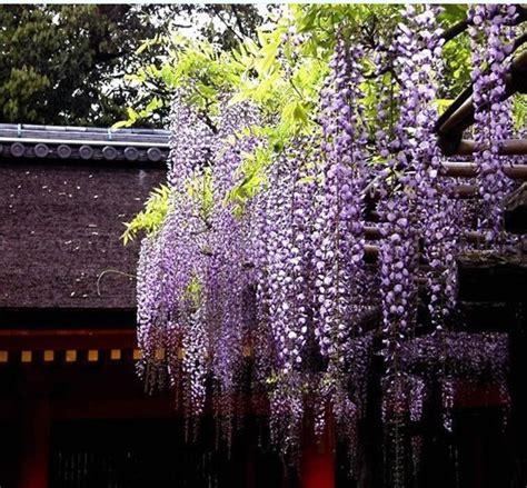 small wisteria 10 pcs fragrant purple wisteria flower seeds small tree home garden wisteria sinensis bonsai in