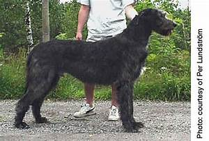 1000+ images about Irish Wolfhound on Pinterest