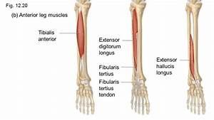 The Complete Guide To Your Extensor Hallucis Longus And