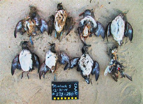 lost  sea starving birds   warming world audubon