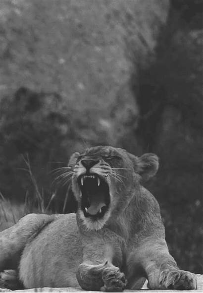 Lion Dope Lioness Roar Gifs Animals Nature