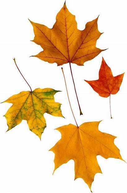 Leaves Autumn Leaf Transparent Feuilles Automne Fichier