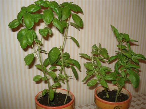 cultiver du basilic en pot 100 images le basilic une plante aromatique facile 224 cultiver
