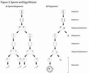 Identify The Stages Of Meiosis On The Diagram