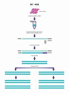 Cycles Of Pcr Diagram