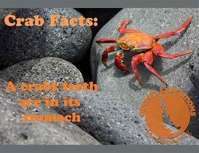 Crab Marine Facts Fact Biology Invertebrates Learning