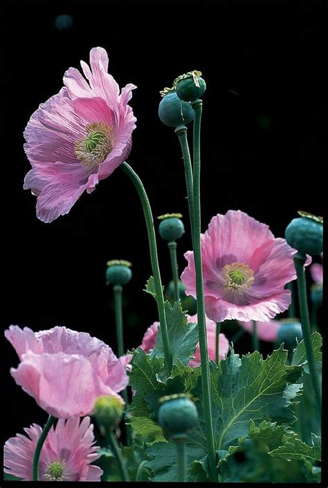 growing annual poppies  marilyn barlow    garden