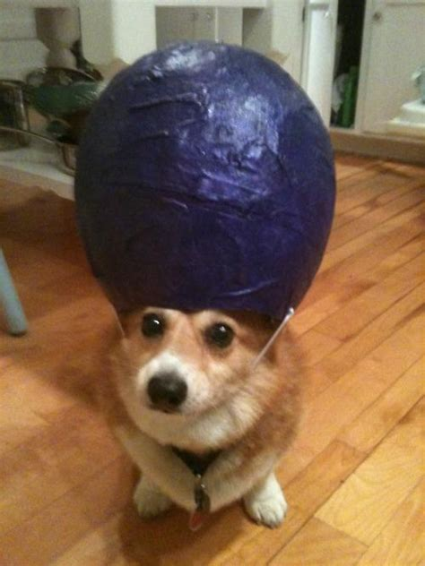 corgi  innate talent  balancing    head