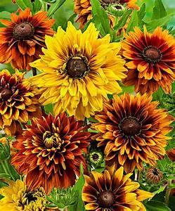 Sonnenhut Pflanze Kaufen : kaufen sie jetzt blumensaat sonnenhut cherokee sunset kaufen ~ Buech-reservation.com Haus und Dekorationen