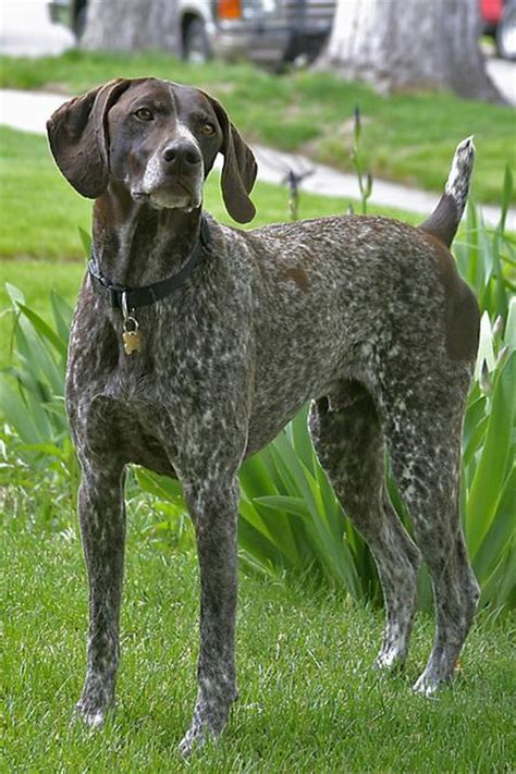 German Shorthaired Pointer Shedding by German Wirehaired Pointer Pictures Breeds Picture