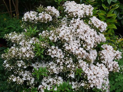 pictures of mountain laurel shrubs mountain laurel gammon s garden center landscape nursery