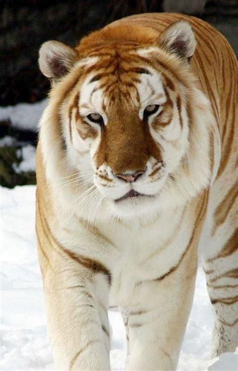 Liger Lion Tiger Mix Animals Tiere