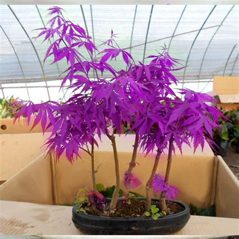 japanese maple purple ghost 20 maple seeds tree purple ghost acer palmatum japanese maple ebay