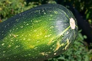 Quand Planter Courgette : courgette plantation culture et r colte ~ Dallasstarsshop.com Idées de Décoration