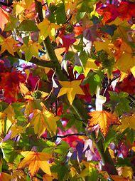 Fall Leaves Trees Autumn