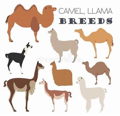 Alpaca Llama Guanaco Animal Icon Camel Breeds