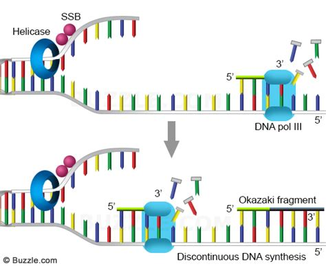 okazaki fragment an in depth look at the 7 major steps of dna replication