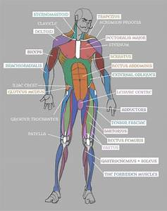 Groin Muscle Anatomy Diagram  With Images