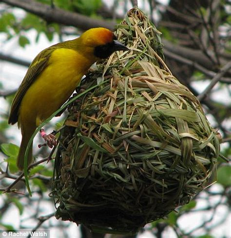 birds learn how to build better nests claim scientists