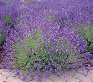 Pflege Von Lavendel : lavendel 39 royal blue 39 dehner ~ Lizthompson.info Haus und Dekorationen