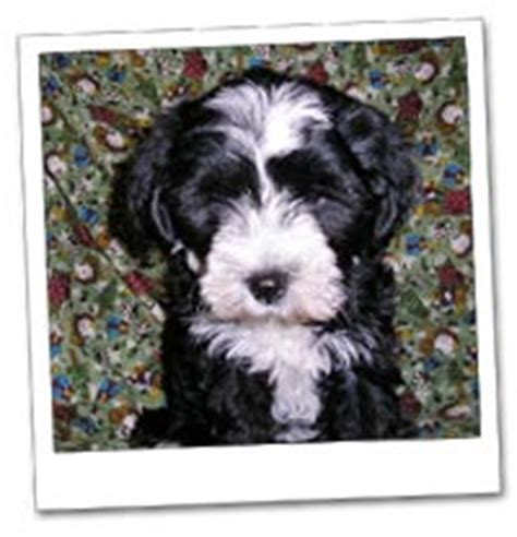 Do Tibetan Terriers Shed by Lakebreeze Palisades Tibetan Terriers