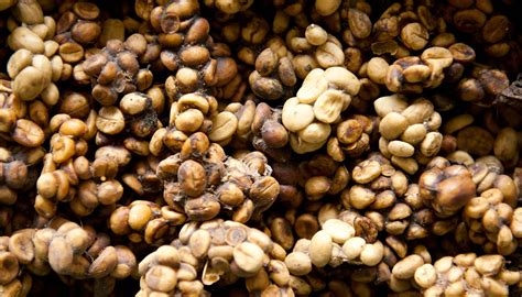 Four most expensive coffee beans