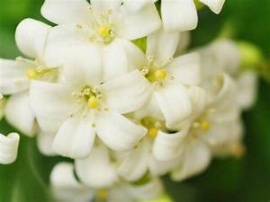 Jasmin Pflanze Pflege : jasmin richtig pflanzen und pflegen liebenswert ~ Markanthonyermac.com Haus und Dekorationen