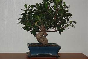 Pflege Von Bonsai Bäumchen : bonsai pflege bonsai pflege bonsai ficus ginseng bonsai baum pflege tipps bonsai lexikon ~ Sanjose-hotels-ca.com Haus und Dekorationen