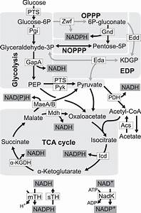 Redox Cofactor Production During Growth On Glucose  Five