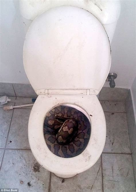 toilet seat snake catcher elliot budd discovers a python in his toilet