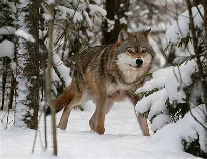 Wolf Russian Eurasian Forest Coniferous Facts Habitat