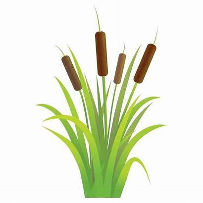 Cattails Grass Swamp Clipart Plant Reed Vector